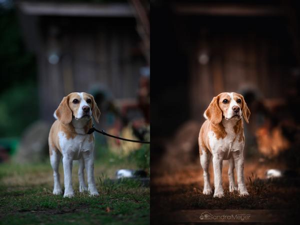 Bildbearbeitung Vorher Nachher Vergleich Beagle