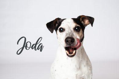Jack Russel Terrier mit Zunge vor weißem Hintergrund