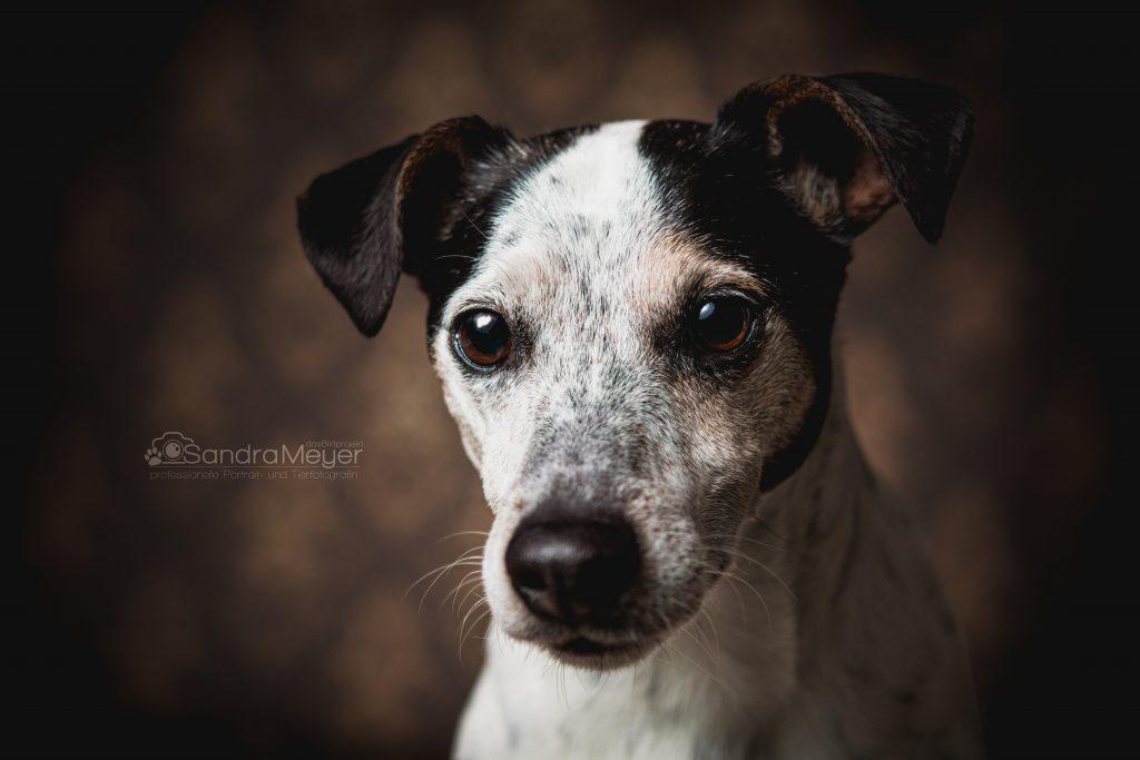 Jack Russel Terrier Portrait vor braunem Hintergrund