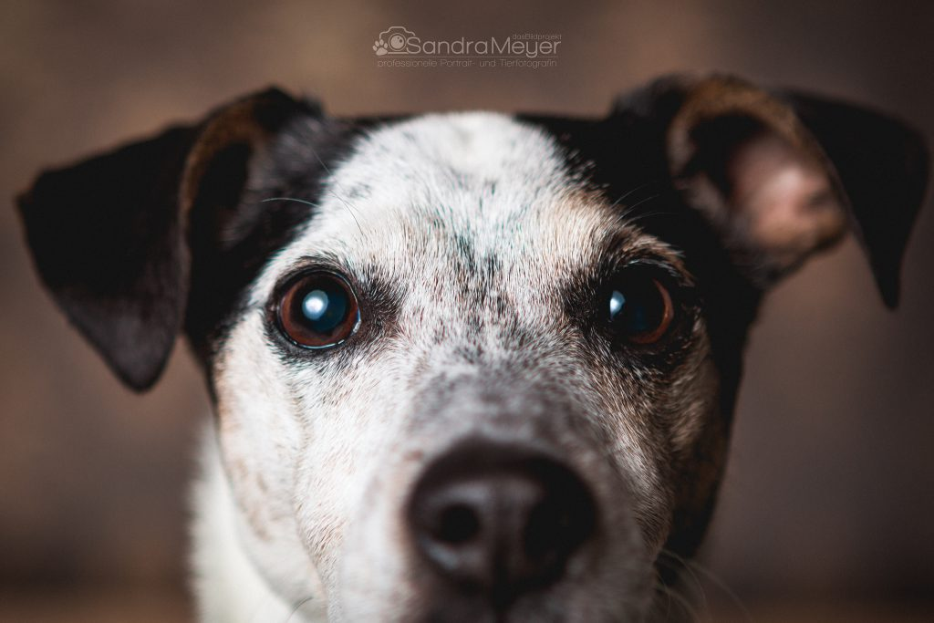 Jack Russel Terrier große Augen vor braunem Hintergrund